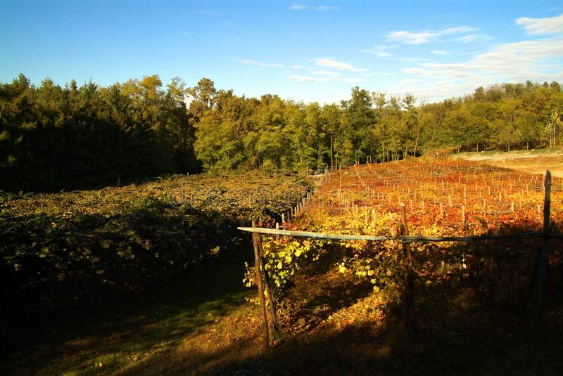 Download Bello Autumn Landscape With Multi-Colored Lines Delle Vigne Delle Vigne Autumn Color Vineyard Fotografia Stock - Immagine: 101656990