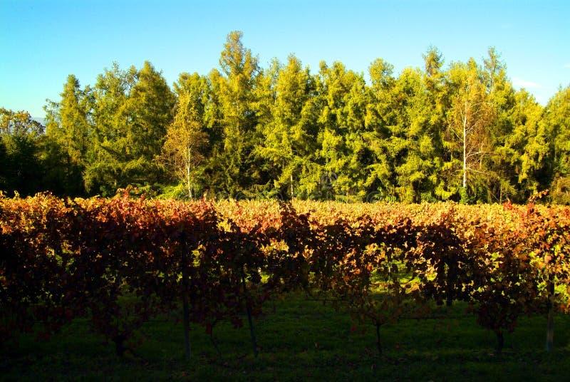 Download Bello Autumn Landscape With Multi-Colored Lines Delle Vigne Delle Vigne Autumn Color Vineyard Immagine Stock - Immagine: 101657759