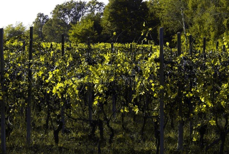 Download Bello Autumn Landscape With Multi-Colored Lines Delle Vigne Delle Vigne Autumn Color Vineyard Fotografia Stock - Immagine: 101659580