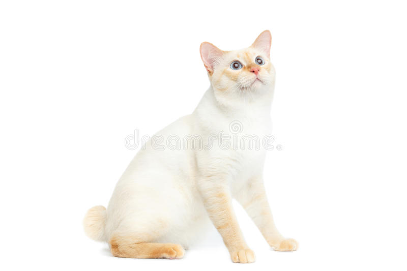Bello bobtail Cat Isolated White Background del Mekong della razza immagini stock