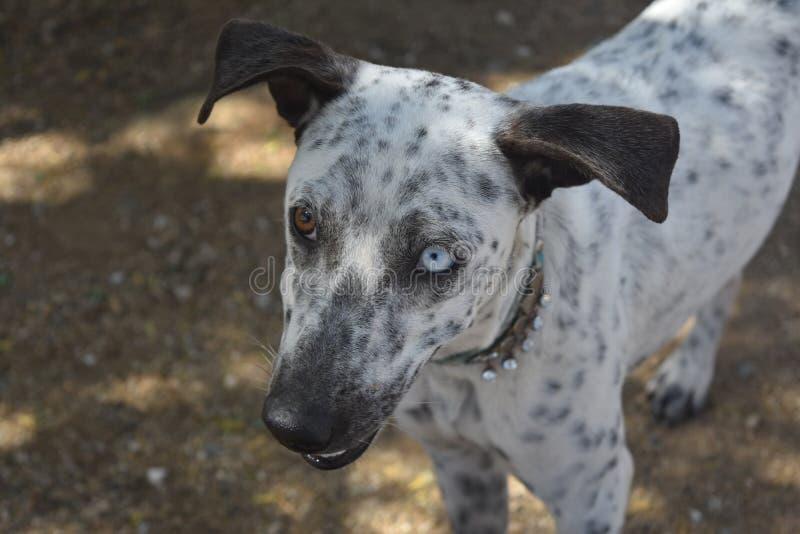 Bello Brown e occhio azzurro su un cane bianco e nero di Cunucu immagine stock