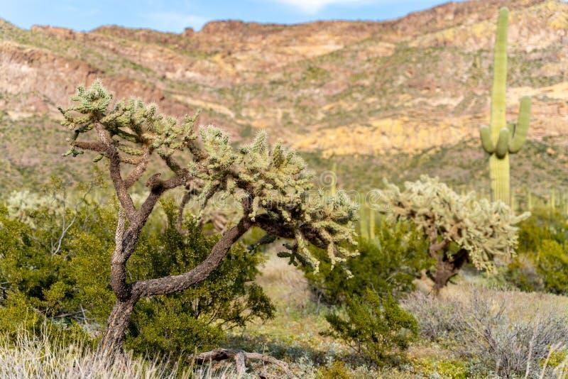 Bello cactus a catena di cholla della frutta nel deserto di Sonoran dell'Arizona in monumento nazionale del cactus della canna d' fotografie stock