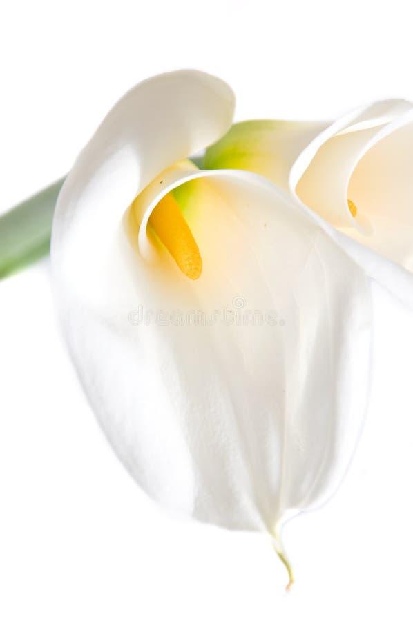 Bello calla isolato su priorità bassa bianca fotografie stock