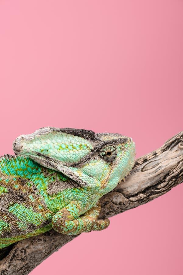bello camaleonte variopinto che si siede sul ramo di albero immagini stock