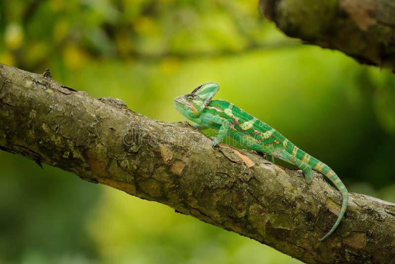 Bello camaleonte velato variopinto sul ramo di albero immagine stock libera da diritti