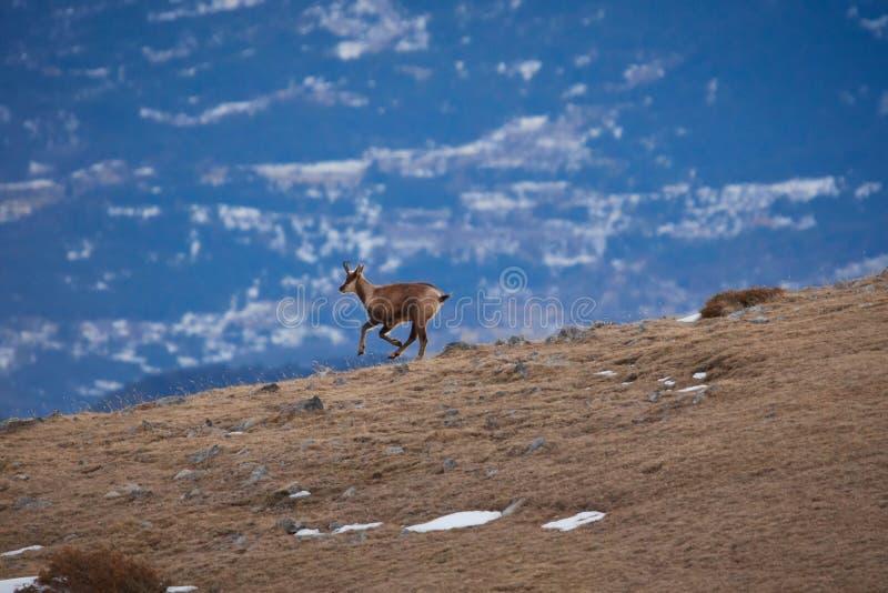Bello camoscio che salta nella montagna di Pirenei fotografie stock
