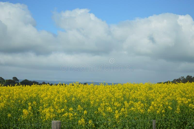 Bello campo del fiore giallo fotografie stock