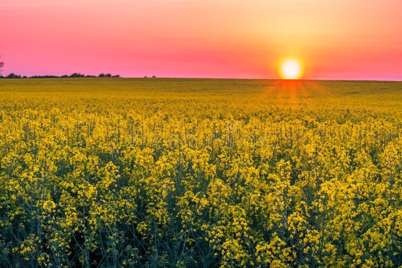 Bello campo di estate con la fioritura del seme di ravizzone giallo sul tramonto immagini stock