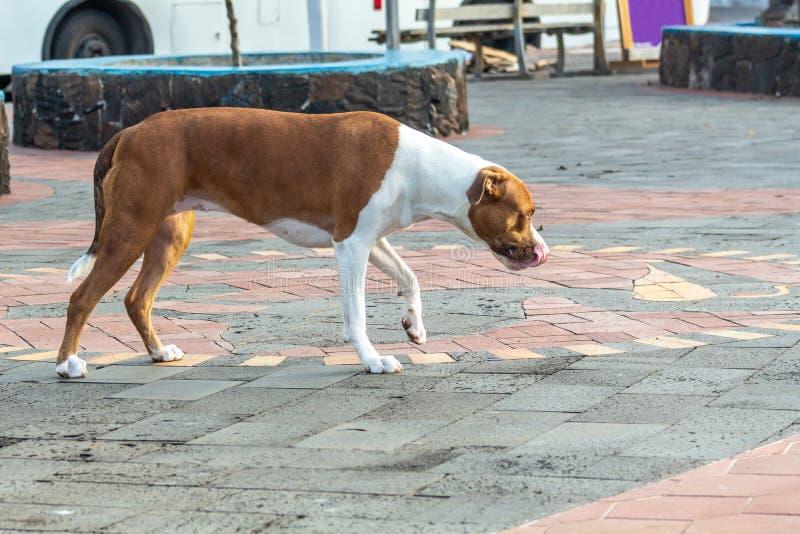 Bello cane che fiuta e che assapora camminata giù la via fotografie stock