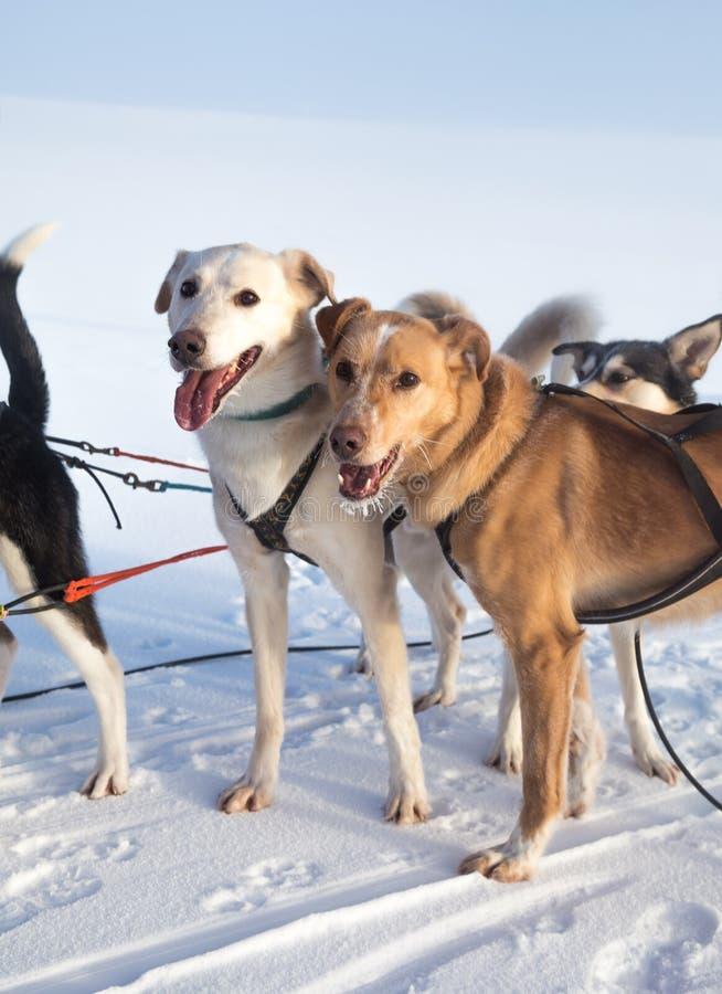 Bello cane d'Alasca del husky che gode di un giorno soleggiato nell'inverno fotografia stock