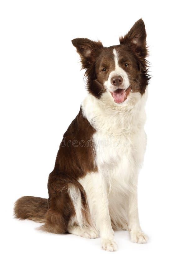Bello cane del confine delle collie isolato su fondo bianco fotografie stock libere da diritti