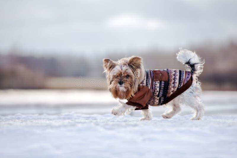 Bello cane dell'Yorkshire terrier in un cappotto di inverno che cammina all'aperto immagini stock