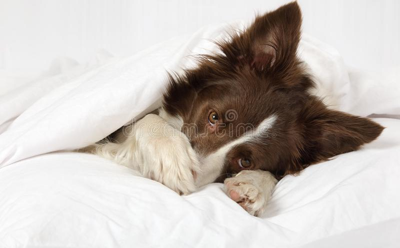 Bello cane di border collie che si trova su un letto sotto la coperta immagini stock libere da diritti
