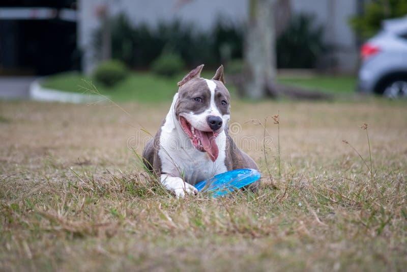 Bello cane felice del pitbull mentre giocando nel parco immagini stock