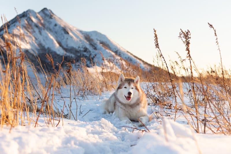 Bello, cane felice e libero del husky siberiano che si trova sulla collina nell'erba appassita al tramonto fotografia stock libera da diritti