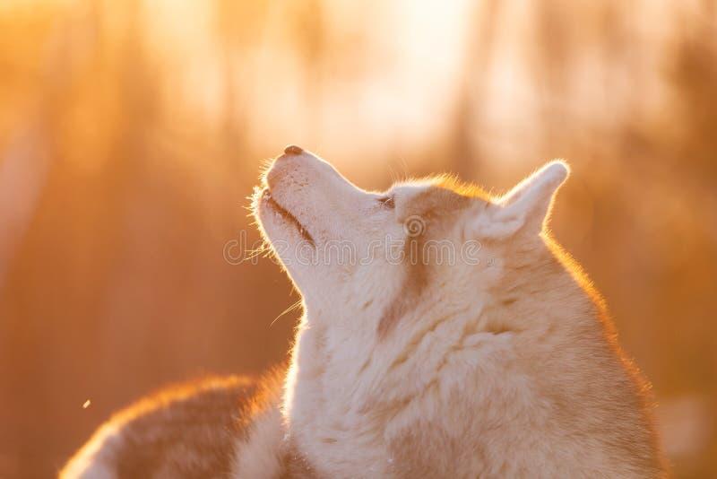 Bello, cane felice e sveglio del husky siberiano che si trova sul percorso della neve nella foresta di inverno al tramonto immagine stock