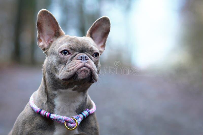 Bello cane femminile striato colorato raro del bulldog francese del lillà con il collare viola ambra-chiaro e dell'occhio di para fotografia stock libera da diritti