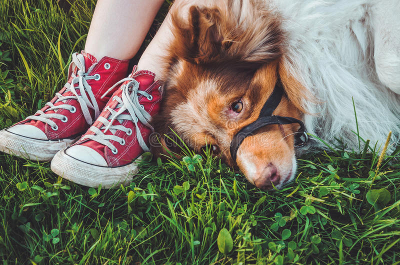 Bello cane marrone della testarossa che si trova nell'erba dopo il gioco lungo, divertendosi all'aperto Ragazza felice dei pantal immagini stock libere da diritti