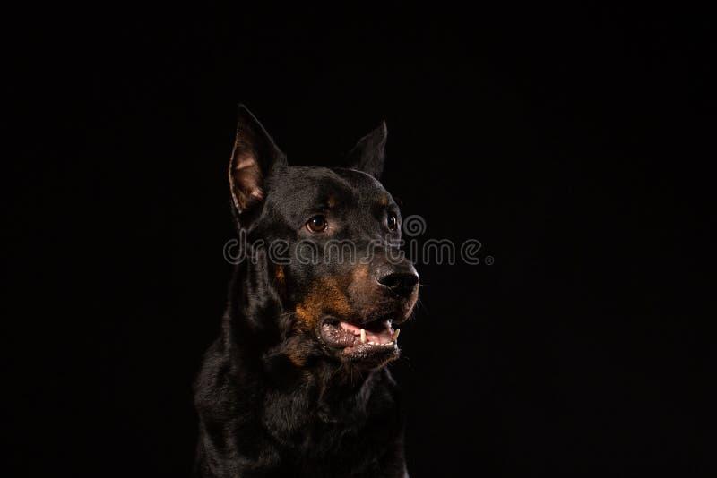 Bello cane maschio nero del doberman su fondo nero fotografia stock libera da diritti