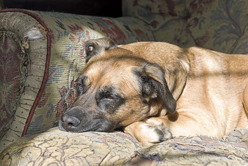 Bello cane triste fotografie stock