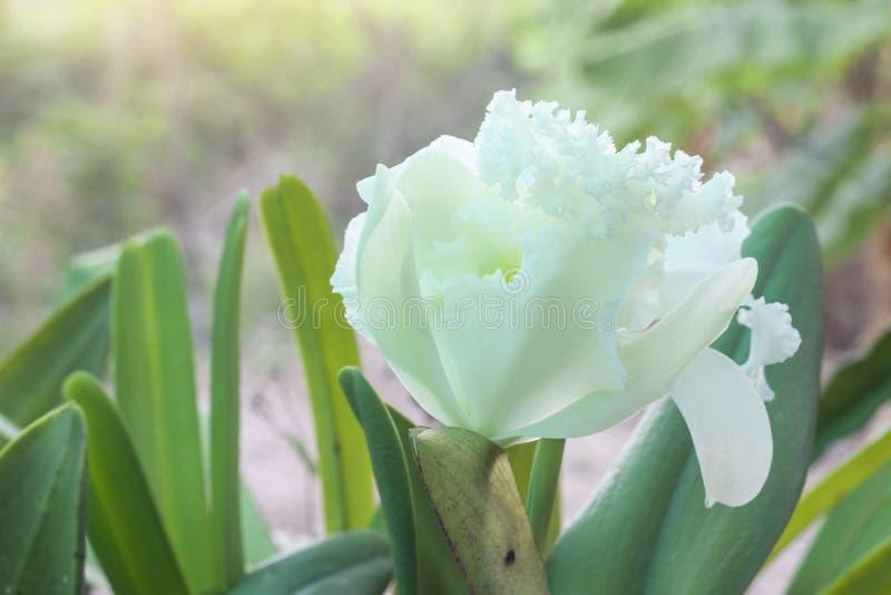 Bello Cattleya bianco o orchidea che sboccia nel giardino fotografia stock