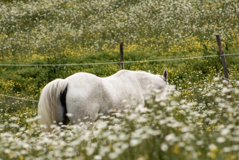 Bello cavallo arabo bianco che pasce in un campo in pieno delle margherite Concetto della sorgente Vita dell'azienda agricola immagine stock libera da diritti