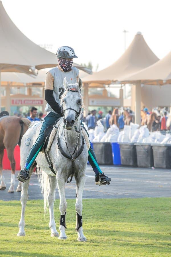 Bello cavallo arabo che si prepara per una corsa di resistenza immagini stock libere da diritti