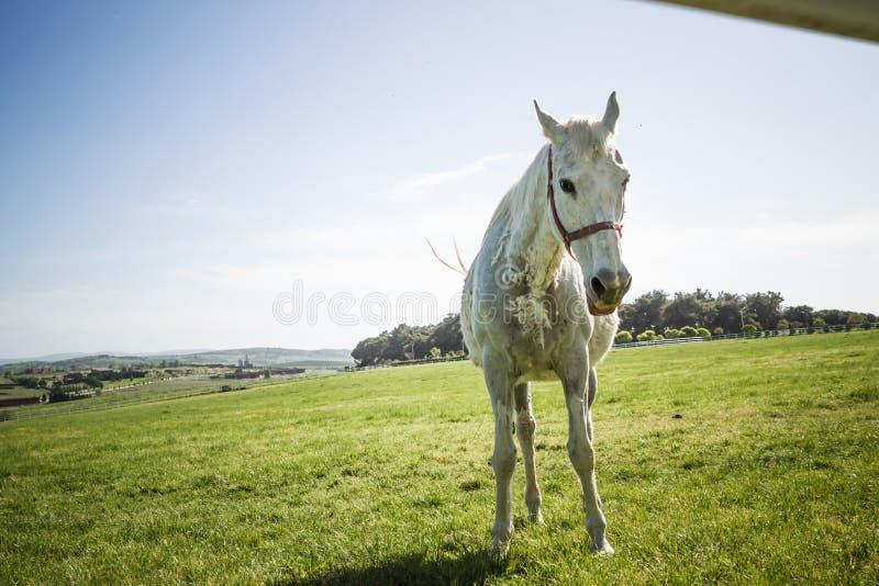 Bello cavallo bianco che pasce nel prato fotografia stock