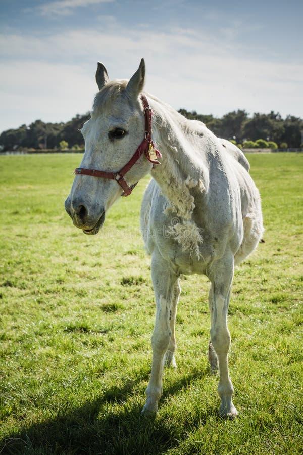 Bello cavallo bianco che pasce nel prato immagine stock