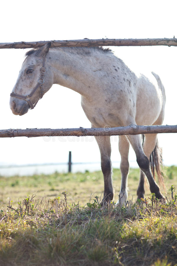 Bello cavallo bianco che pasce sull'erba fotografia stock