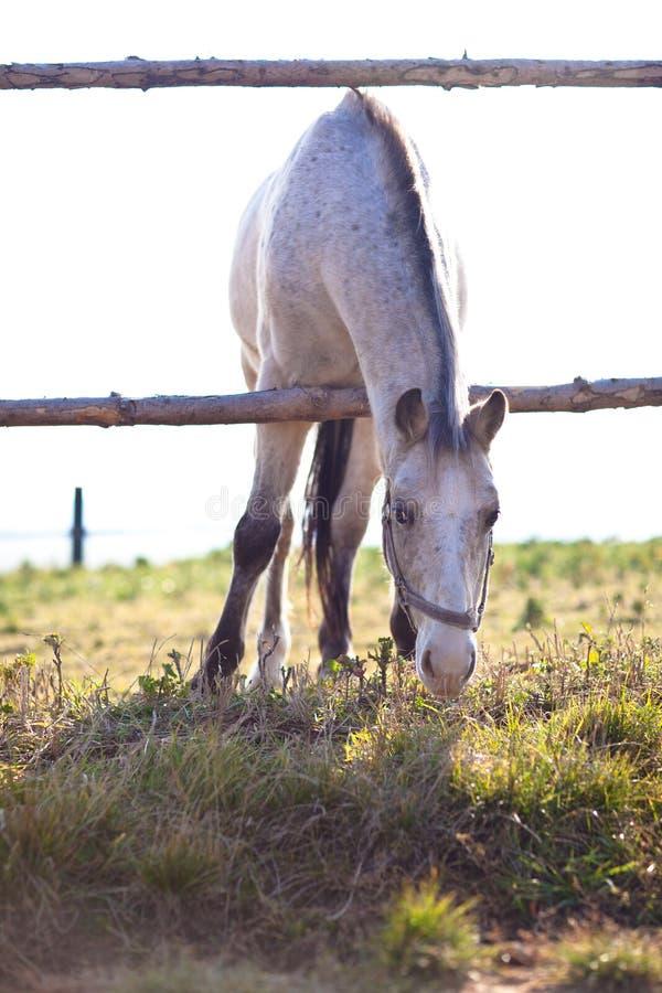 Bello cavallo bianco che pasce sull'erba fotografie stock