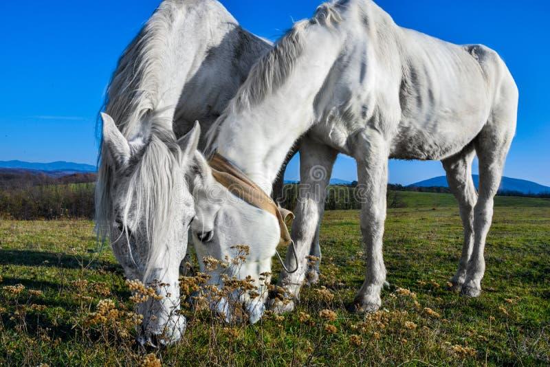 Bello cavallo bianco che pasce in un prato fotografie stock