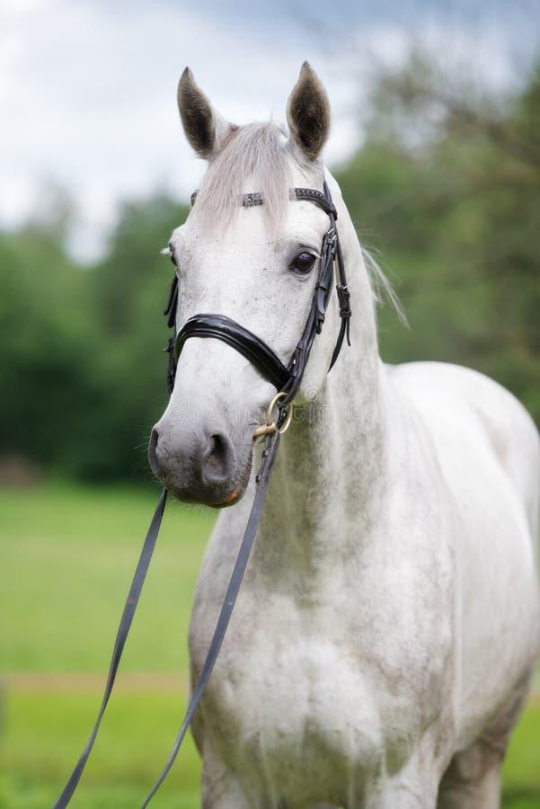 Bello cavallo bianco che sta all'aperto immagine stock