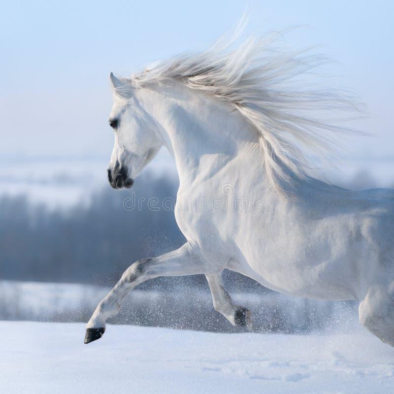 Bello cavallo bianco con la criniera lunga che galoppa attraverso il prato di inverno immagine stock libera da diritti
