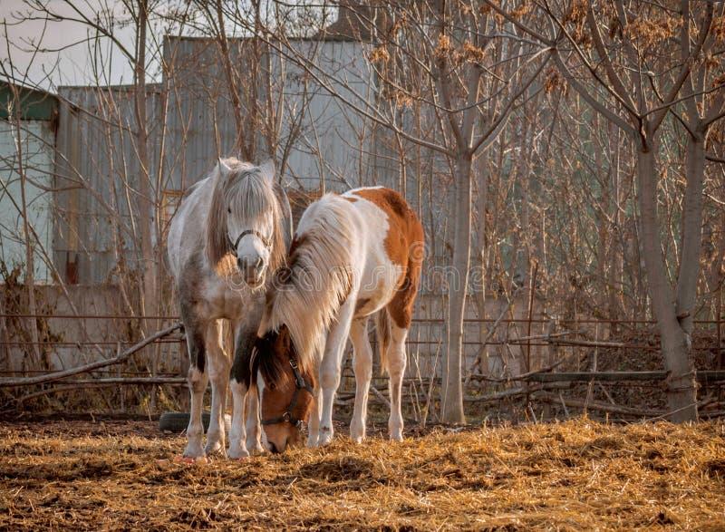 Bello cavallo bianco ed il suo puledro nella gabbia all'aperto di camminata, giorno soleggiato piacevole Il cavallo cammina su un fotografia stock libera da diritti