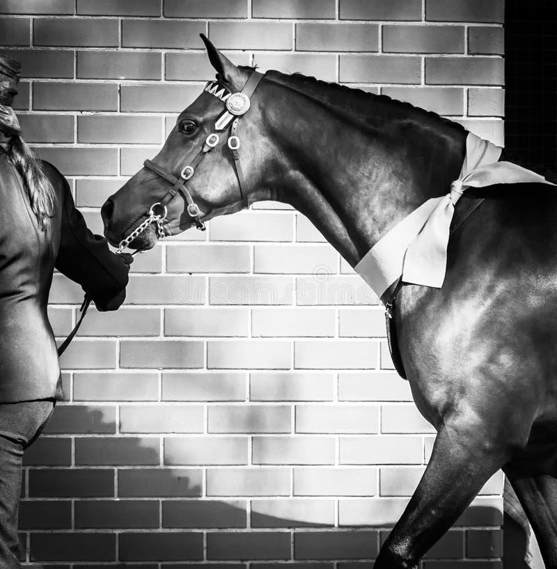 Bello cavallo in briglia decorativa con un arco intorno al collo fotografia stock libera da diritti