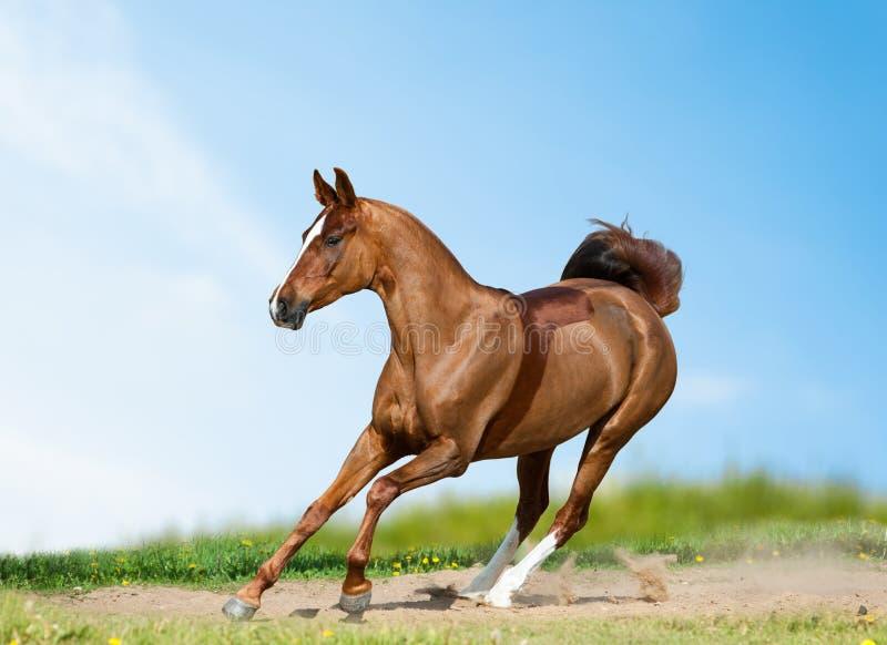 Bello cavallo da sella nel campo di estate immagini stock libere da diritti