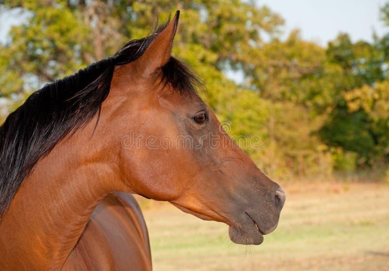 Bello cavallo dell'Arabo della baia rossa immagine stock libera da diritti