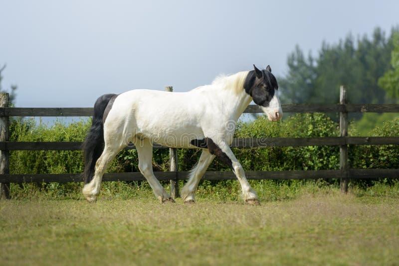 Bello cavallo della pittura che cammina nel prato immagine stock