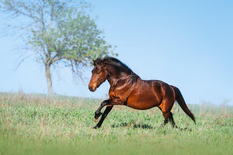Bello cavallo di Brown che galoppa sul campo verde su un fondo leggero fotografia stock libera da diritti