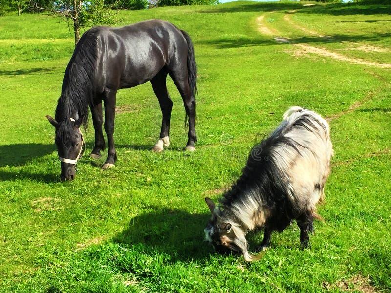 Bello cavallo e capra neri che pascono su un prato verde immagine stock