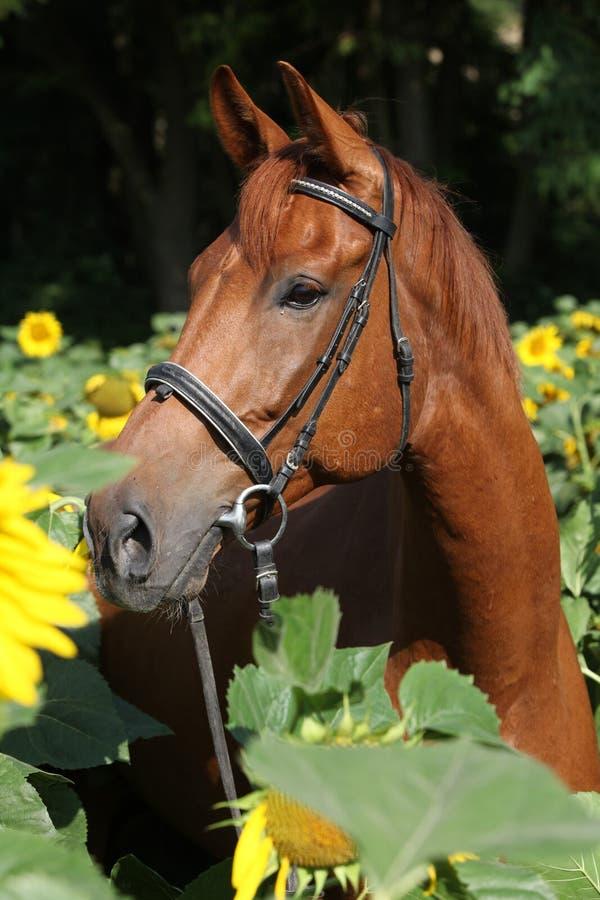 Bello cavallo in girasoli immagine stock libera da diritti