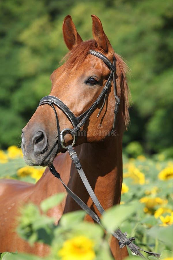 Bello cavallo in girasoli immagini stock libere da diritti