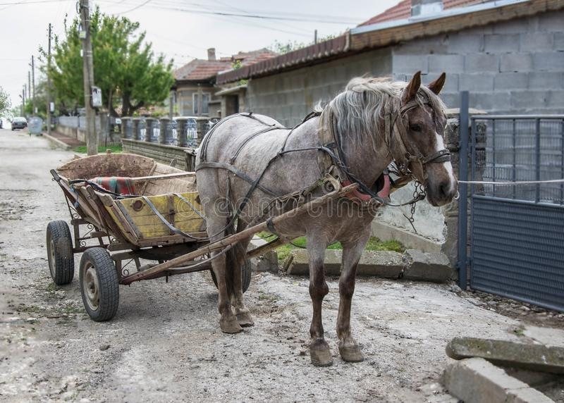 Bello cavallo grigio in cablaggio, ritratto animale del primo piano con il vagone fotografia stock