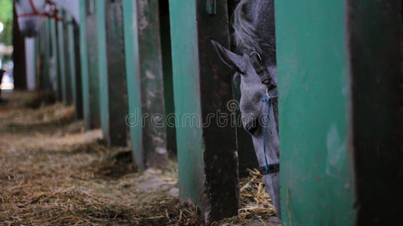 Bello cavallo grigio nella stalla fotografia stock
