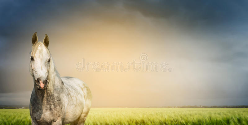 Bello cavallo grigio sul campo e sul fondo verdi del cielo, insegna immagine stock libera da diritti