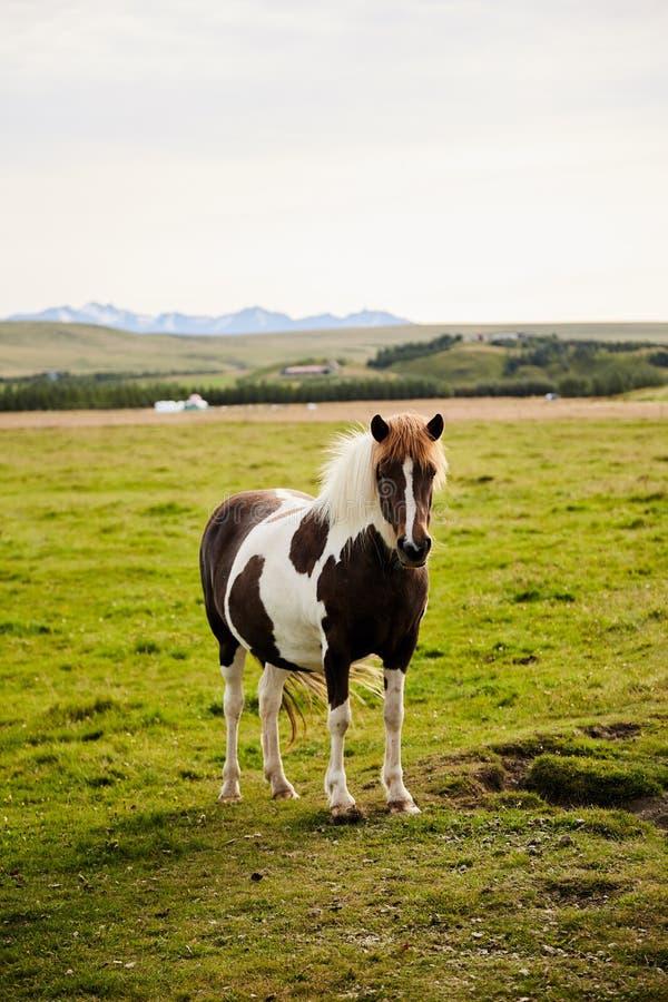 Bello cavallo islandese immagine stock libera da diritti