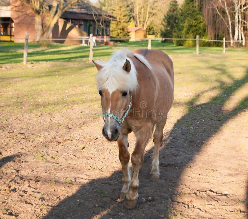 Bello cavallo islandese marrone con la criniera bianca, stante su un recinto chiuso in Germania nell'uguagliare luce solare esami immagini stock