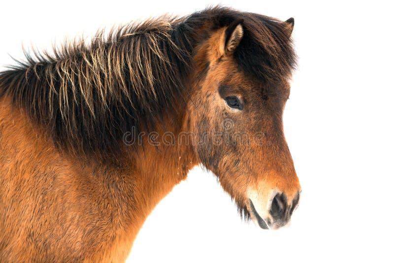 Bello cavallo islandese su fondo bianco immagini stock