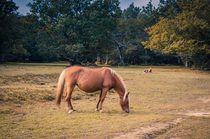 Bello cavallo marrone che pasce fotografia stock libera da diritti